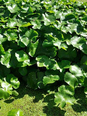 Floating pennywort, one of the species to be banned, can grow up to 20cm (8in) per day