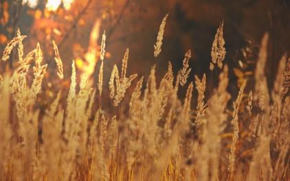 ears-of-corn-field-sun-light-gold-fall-landscape-nature-1200x1920