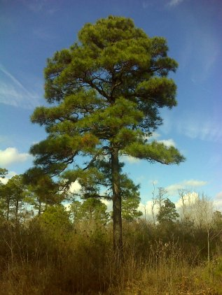 Older specimen of Pond Pine